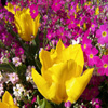 Jigsaw: Yellow Tulip