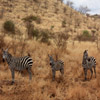 Jigsaw: Zebra Family