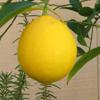 Lemon Puzzle
