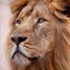 Lion Jigsaw