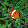 Nemo Among The Coral Reef