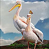 Pelicans on the mountain slide puzzle