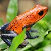 Poison Dart Frog Slider Puzzle