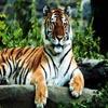 Puzzles: Tigers