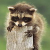 Raccoon Story