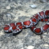 Red Milk Snake Jigsaw