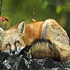 Sluggard fox puzzle