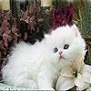 Sweet white cat slide puzzle