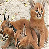 Three baby lynx slide puzzle