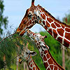 Three hungry  giraffe slide puzzle