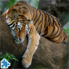 Tiger On Tree Jigsaw