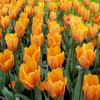 Tulip 2 Jigsaw Puzzle