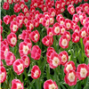 Tulip 3 Jigsaw Puzzle