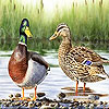 Two colorful ducks slide puzzle
