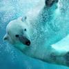 Underwater Polar Bear Slider Puzzle