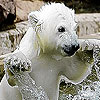 White Bear in the pool puzzle