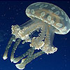 White jellyfish slide puzzle