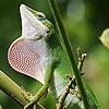 Wild big chameleon puzzle
