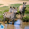 Zebras in Southern Africa